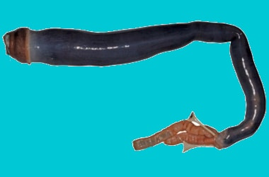 Live Giant Shipworm found for the first time